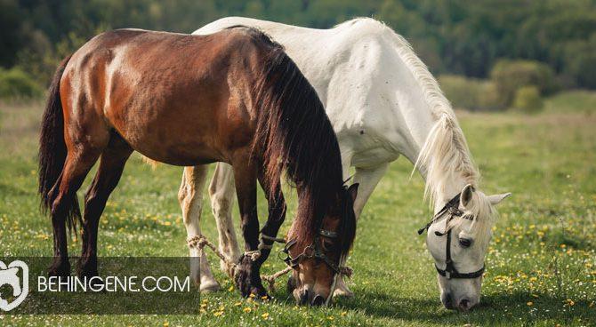 اصلاح نژاد اسبها