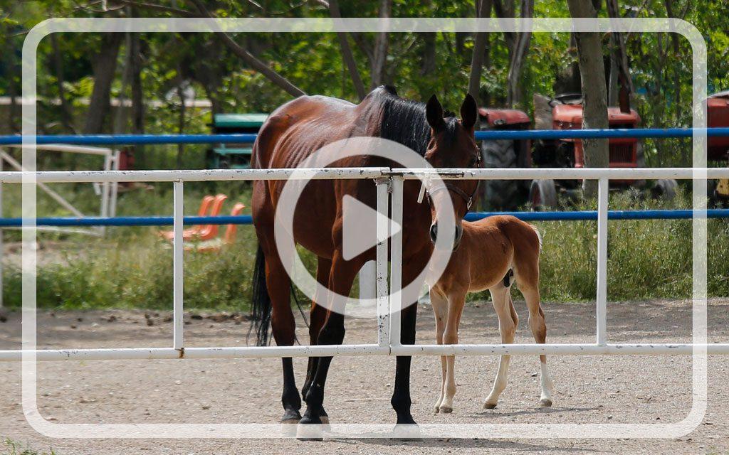 ورکشاپ اصلاح نژاد اسب